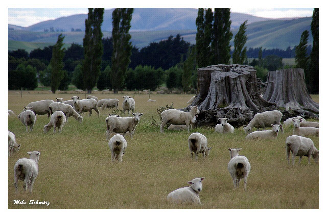 Schafe Südinsel