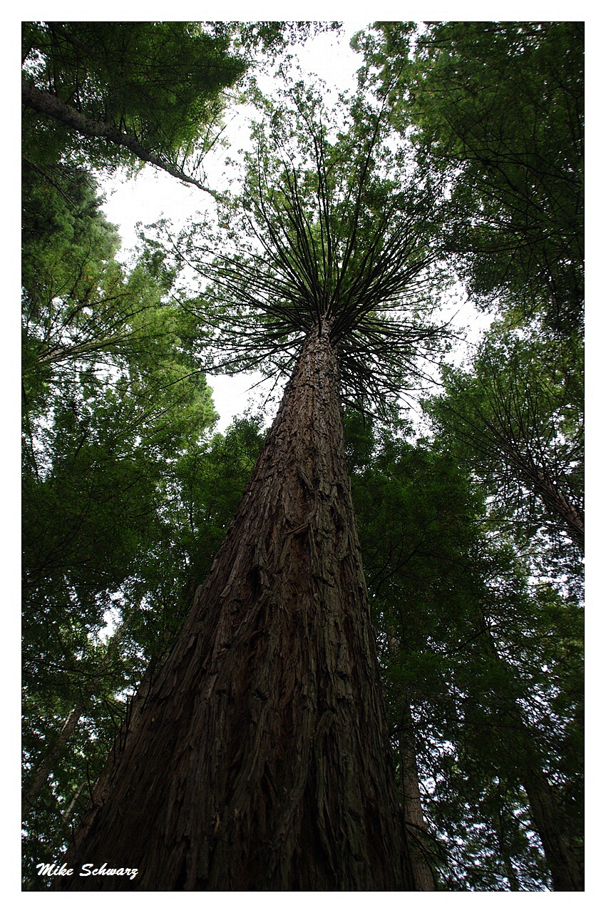 Redwoods (Miro Bäume)