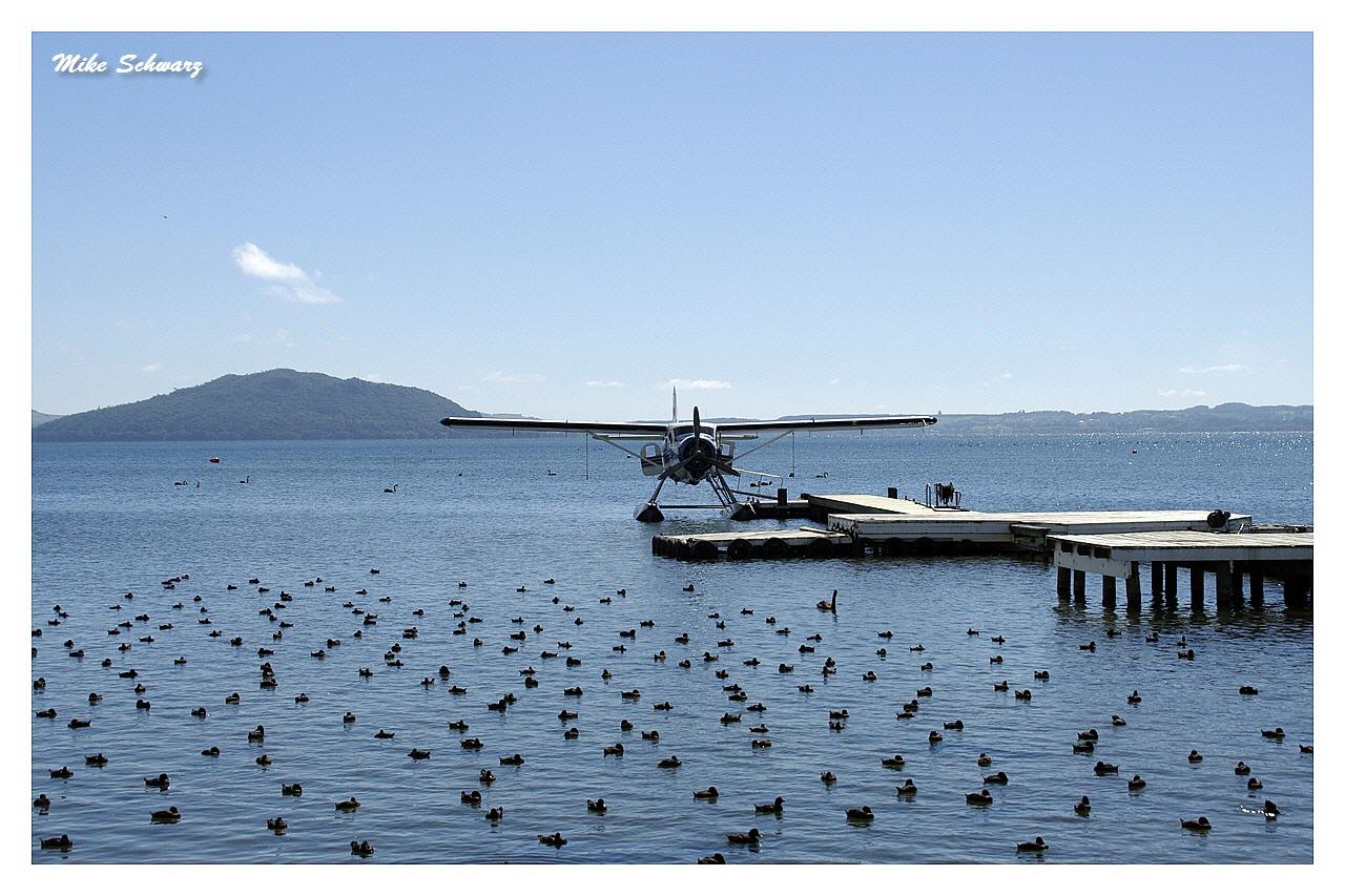 New Zealand Scaups Lake Rotorua