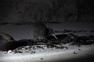 Kiwi Bird @ Stewart Island