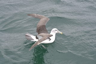 Albatros @ Stewart Island
